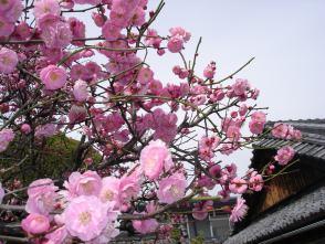 今年は梅の花の当たり年?