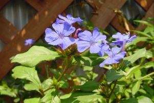 名前の分らない実家に咲いている花