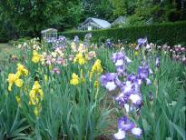 京都府立植物園のジャーマンアイリス