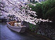 高瀬船 京都の桜